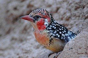 African barbet - Red-and-yellow barbet Trachyphonus erythrocephalus