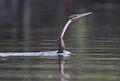 Flickr - Rainbirder - African Darter (Anhinga rufa) (1).jpg