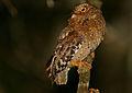 Flickr - Rainbirder - Sokoke Scops Owl (Otus ireneae) (1).jpg