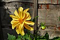 Flickr - ronsaunders47 - Pure natural gold..jpg