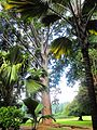 Flickr - ronsaunders47 - SRI LANKAN PALMS. KANDY BOTANICAL GARDENS..jpg