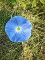 Flor de ololiuqui (Rivea Corymbosa).jpg