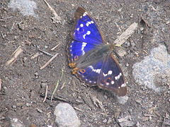 Fluture albastru.jpg