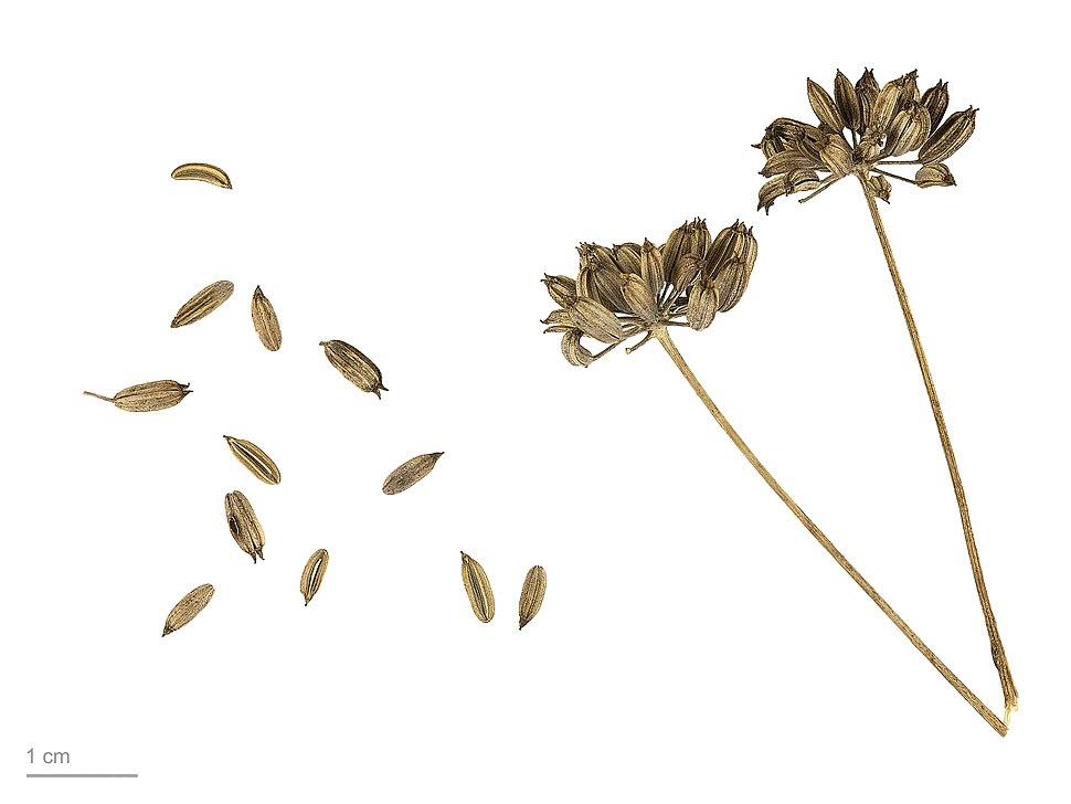 Foeniculum vulgare MHNT.BOT.2005.0.1058