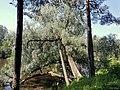 Forest in Kellokoski - panoramio.jpg