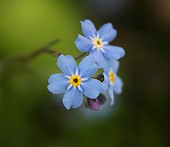 Forget-me-not2-cropped.jpg
