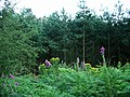 Foxgloves and ragwort, Sherwood Pines - geograph.org.uk - 198350.jpg