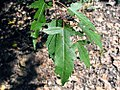 Fraxinus sieboldiana 1zz.jpg