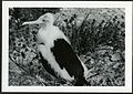 Fregata minor (Great Frigatebird) 75 days old, on Christmas Island (Kiritimati), Kiribati, 1967. (9392658077).jpg