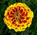 French Marigold -- October Birthday Flower -- Tagetes patula.jpg