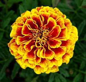 Tagetes patula - French Marigold -- October Birthday Flower -- Tagetes patula