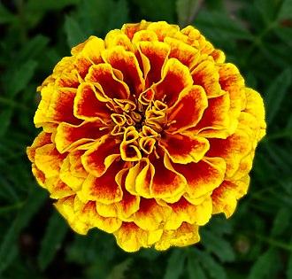 Tagetes patula - French Marigold -- October Birthday Flower -- Tagetes patula