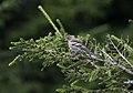 Fringilla coelebs - Common Chaffinch, Giresun 2018-08-16 1.jpg