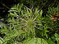 Fruchtstand einer Alpen-Kuhschelle (Pulsatilla alpina).jpg