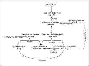 Fructolysis - Figure 2: The metabolic conversion of fructose to glycogen in the liver