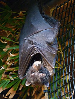 a fruit bat hanging upside down in the wood