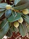 Fruits of pittosporum tobira 001.jpg