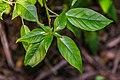 Fuchsia excorticata in Paparoa NP.jpg
