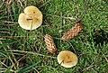 Fungus, Drumkeeragh forest (7) - geograph.org.uk - 1463885.jpg