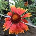 Gaillardia aristata public domain IMG 4978.jpg