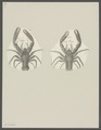 Galathea spec. - - Print - Iconographia Zoologica - Special Collections University of Amsterdam - UBAINV0274 096 14 0005.tif