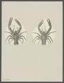 Galathea spec. - - Print - Iconographia Zoologica - Special Collections University of Amsterdam - UBAINV0274 096 14 0005.tif