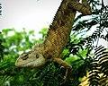 Garden Lizard Swing.jpg