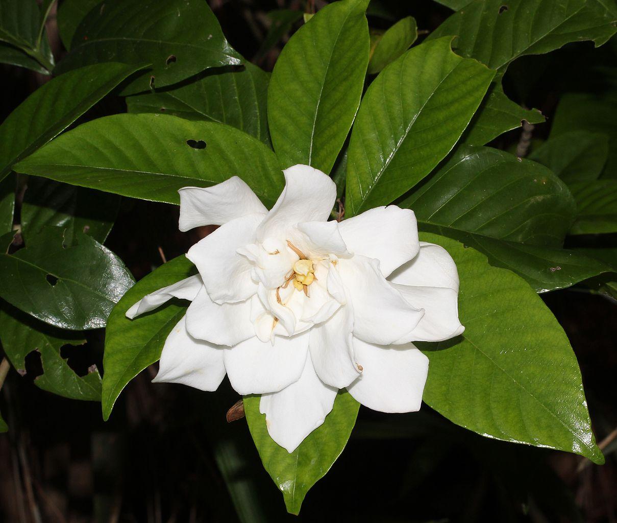 File Gardenia Jasminoides Double Flowered S2 Jpg