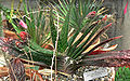 Gasteria acinacifolia var venusta 1.jpg