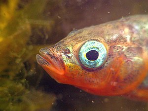 Three-spined stickleback - Male stickleback with red throat and shiny blue eye