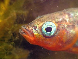 Male stickleback with red throat and shiny blue eye GasterosteusAculeatusMaleHead.JPG