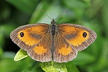 Gatekeeper (Pyronia tithonus) male.jpg
