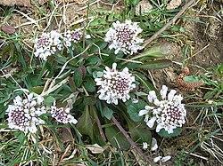 Thlaspi caerulescens