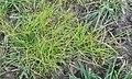 Gemeine Rispe im Anfang April kann lückige Wiesennarbe im Frühjahr weit rascher als andere Futtergräser besiedeln 20150405 110752 in Altenberg.jpg