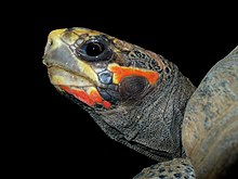 profile of the head of a red-footed tortoise showing the squared off skull, red and dark colorations, and dark eye