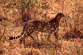Gepardoa.jpg