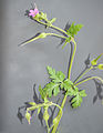 Geranium purpureum-4.jpg
