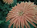 Gerbera from Lalbagh flower show Aug 2013 7963.JPG