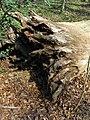 Geschädigte und umgestürzte Esche am Honigbuck im Freiburger Mooswald 3.jpg