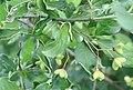 Gewöhnlicher Spindelstrauch Euonymus europaeus 9558.jpg
