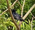 Giant Cowbird Molothrus oryzivorus - Flickr - gailhampshire.jpg