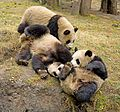 Giant Pandas playing 2.jpg