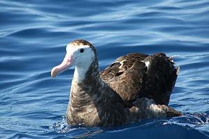 Antipodean albatross - Diomedea antipodensis gibsoni