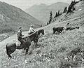 Gifford Pinchot NF cattle.JPG