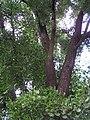 Ginkgo biloba in Lucenec3.jpg