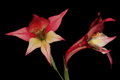 Gladiolus tristis (atypical pinkish form) 1DS-II 3-5703.png
