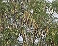 Gleditsia-triacanthos-frutos.jpg