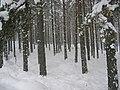 Glenmore Forest. - geograph.org.uk - 133931.jpg