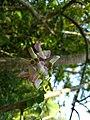 Gliricidia sepium, Spotted Gliricidia, Cheema konna, Seema konna. Flower 2.jpg