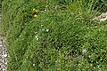 Globularia cordifolia kz01.jpg
